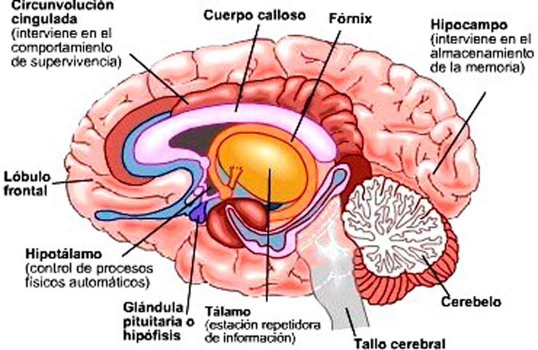 Cerebro-humano-y-partes